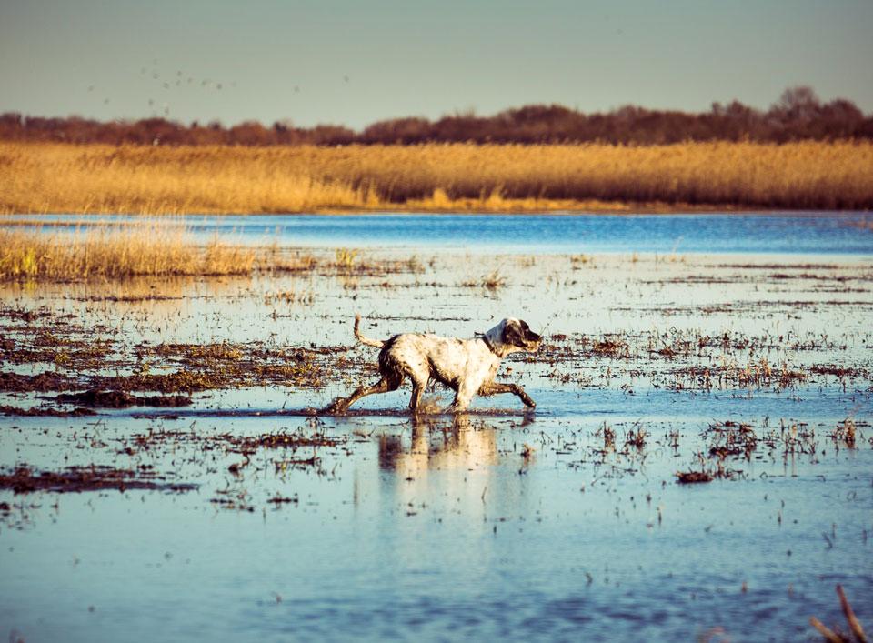 Chien de chasse dans les marais du Domaine d'Espeyran