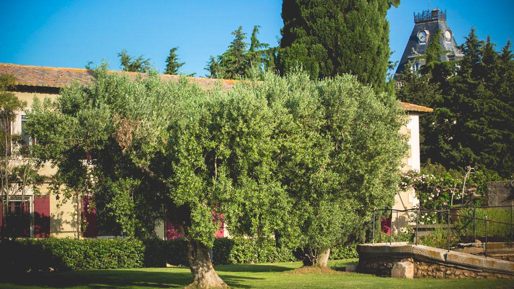 L'olivier du gîte du domaine d'Espeyran